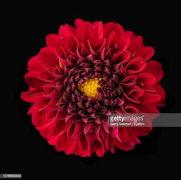 close-up of red dahlia flower against black background - flower head stock pictures, royalty-free photos & images