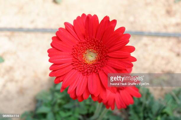 Close-Up Of Red Daisy Flower