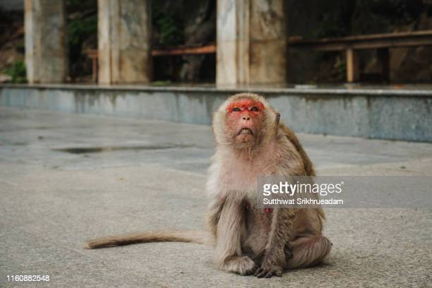 close-up of red faced monkey - ピンクの頬 ストックフォトと画像