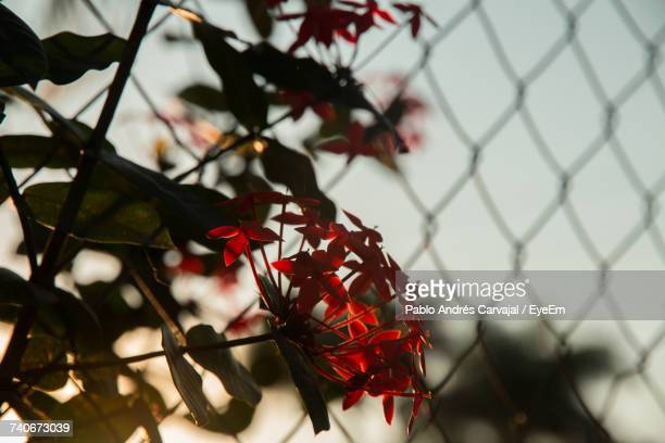 close-up of red flower against blurred background - carvajal stock photos and pictures