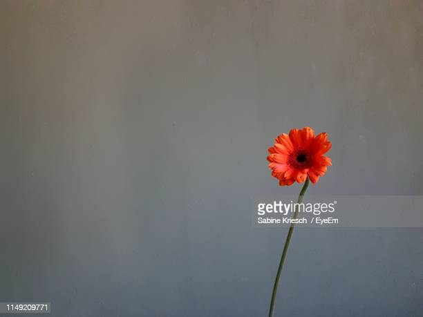 close-up of red flower against orange sky - sabine kriesch stock-fotos und bilder