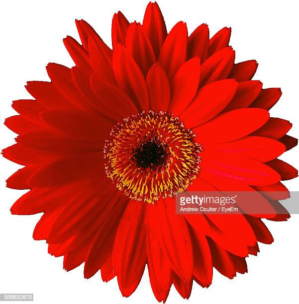 Single flower stock photos and pictures getty images close up of red flower against white background mightylinksfo