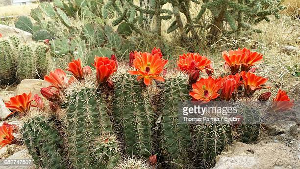 Close-Up Of Red Flower Blooming On Cactus