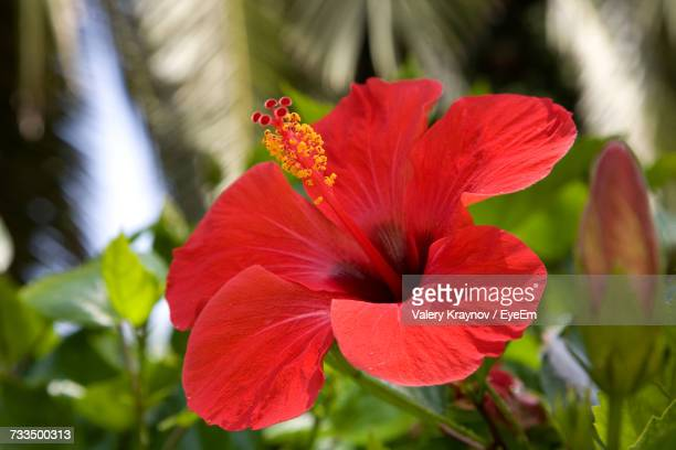 close-up of red flower blooming outdoors - hibiscus stock pictures, royalty-free photos & images
