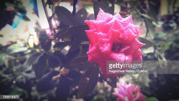 Close-Up Of Red Flower Blooming Outdoors