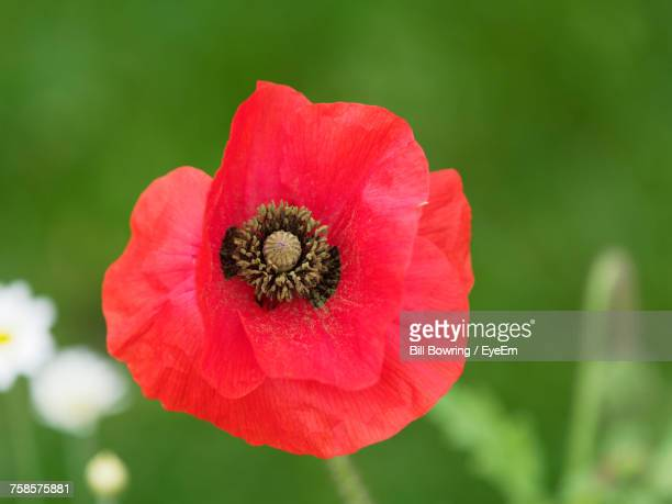 close-up of red flower blooming outdoors - poppies stock photos and pictures