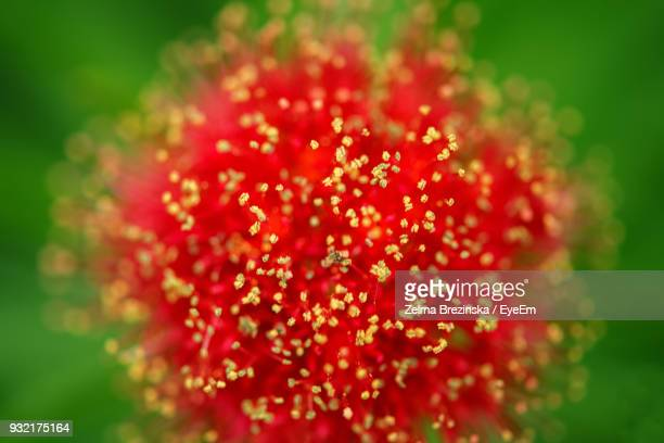 close-up of red flower blooming outdoors - brezinska stock pictures, royalty-free photos & images