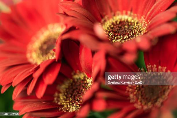 close-up of red flower blooming outdoors - svetlana stock photos and pictures