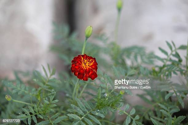 Close-Up Of Red Flower Growing On Plant