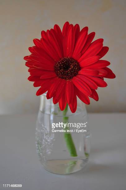 close-up of red flower in vase on table - carmelita iezzi stock pictures, royalty-free photos & images