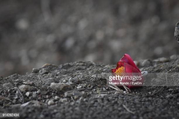 Close-Up Of Red Flower On Rock