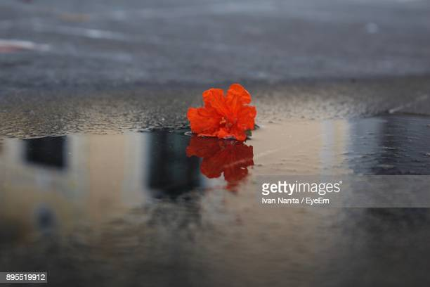 Close-Up Of Red Flower On Water