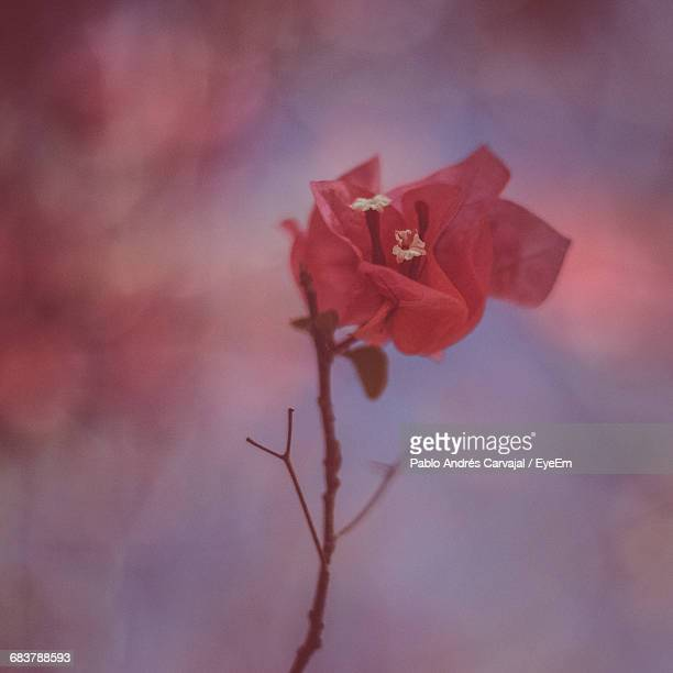 close-up of red flower - carvajal stock photos and pictures