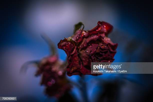 close-up of red flower - koukichi koukichi stock photos and pictures