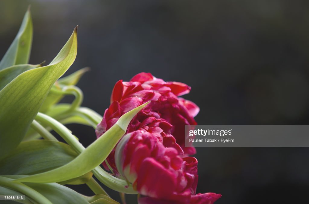 Close-Up Of Red Flower : Stockfoto