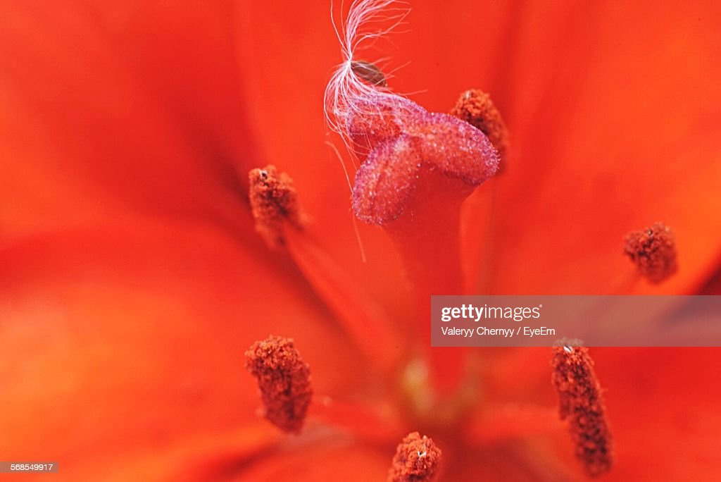 Close-Up Of Red Flower Pollen : Stock Photo