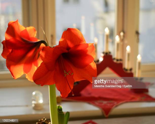close-up of red flower vase on table - amaryllis stock pictures, royalty-free photos & images