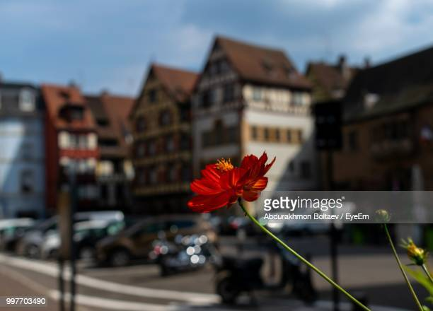 close-up of red flowering plant against buildings in city - plant city stock pictures, royalty-free photos & images
