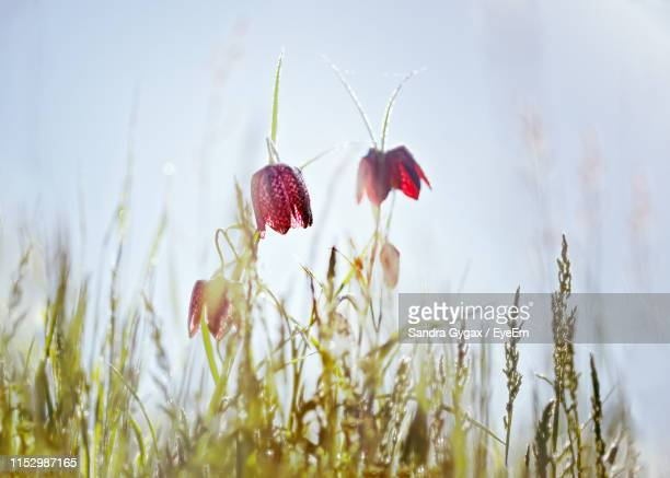 close-up of red flowering plant on field - sandra gygax stock-fotos und bilder
