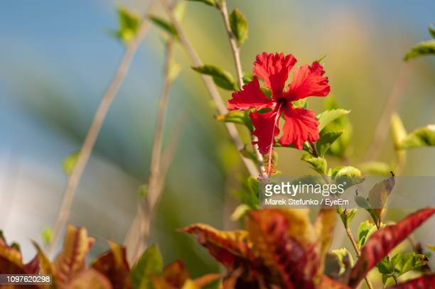 close-up of red flowering plant - marek stefunko stock pictures, royalty-free photos & images