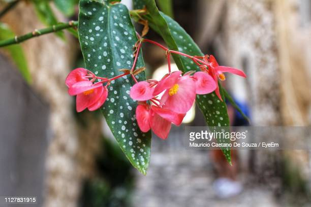 close-up of red flowering plant - mauricio caetano de souza stock photos and pictures