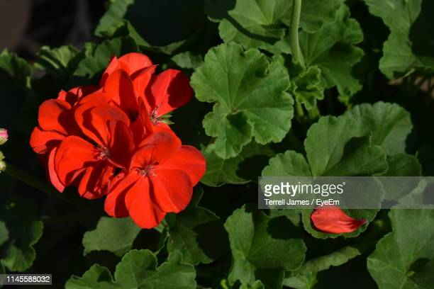 close-up of red flowering plant - geranium stock pictures, royalty-free photos & images