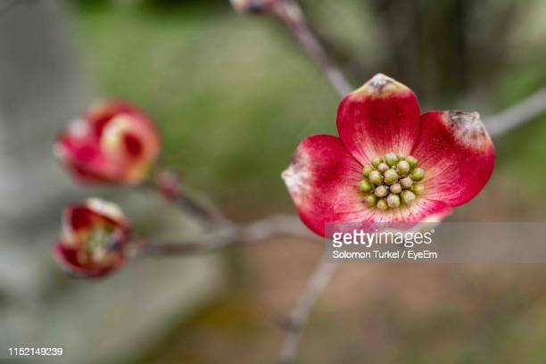 close-up of red flowering plant - solomon turkel stock pictures, royalty-free photos & images