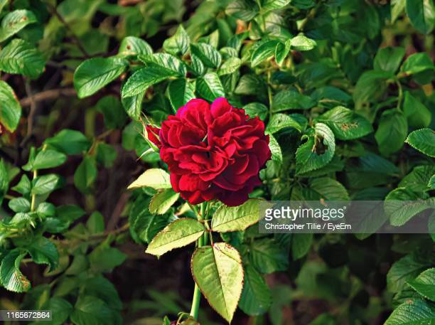 close-up of red flowering plant - red roses garden stock pictures, royalty-free photos & images