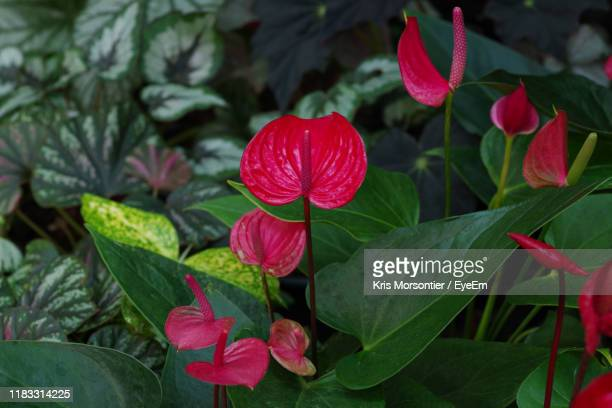 close-up of red flowering plant - anthurium stock pictures, royalty-free photos & images