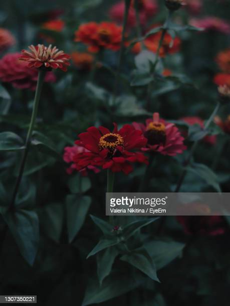 close-up of red flowering plant - nikitina stock pictures, royalty-free photos & images