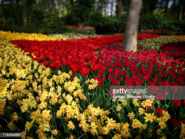 close-up of red flowering plants in field - tulips and daffodils stock pictures, royalty-free photos & images