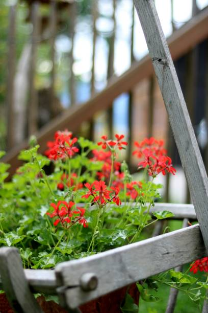 Close-Up Of Red Flowering Plants On Railing