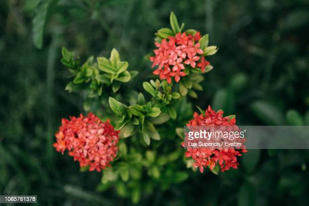 close-up of red flowering plants - lantana stock pictures, royalty-free photos & images