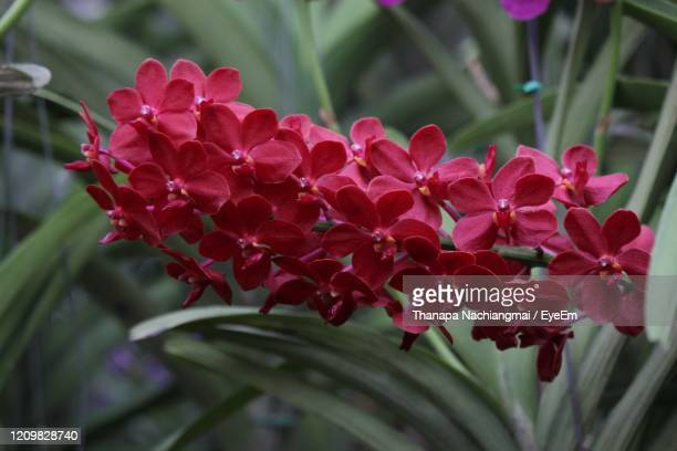 close-up of red flowering plants - vanda stock pictures, royalty-free photos & images