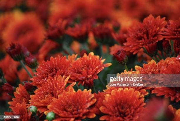 close-up of red flowering plants - chrysanthemum imagens e fotografias de stock