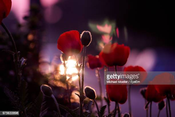 close-up of red flowering plants - mohn pflanze stock-fotos und bilder