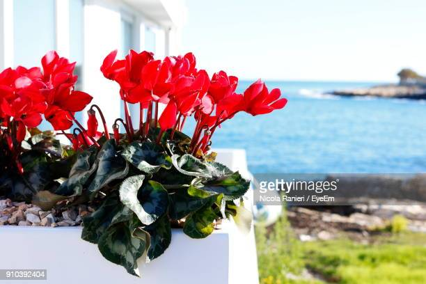 Close-Up Of Red Flowers Against Sea