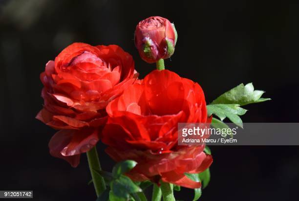 Close-Up Of Red Flowers Blooming Against Black Background