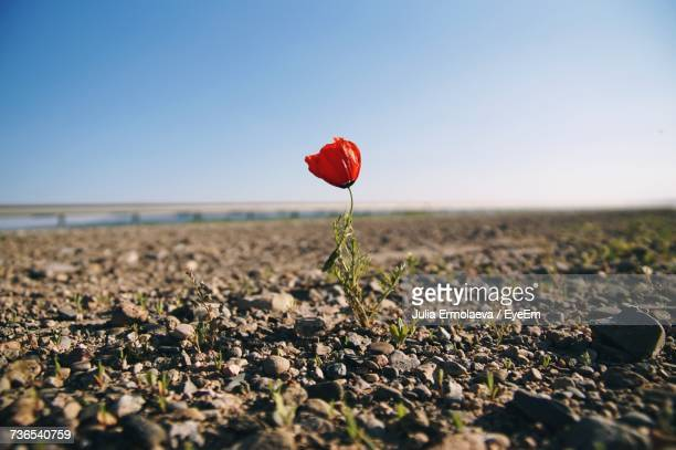 close-up of red flowers blooming on field against clear sky - endurance stock photos and pictures