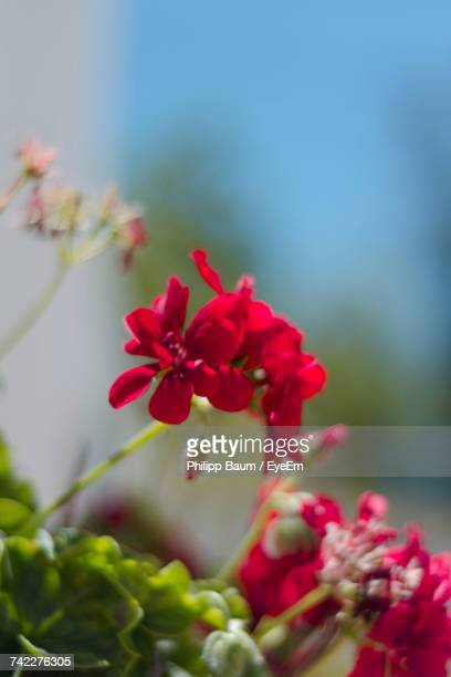 close-up of red flowers blooming outdoors - baum stock pictures, royalty-free photos & images