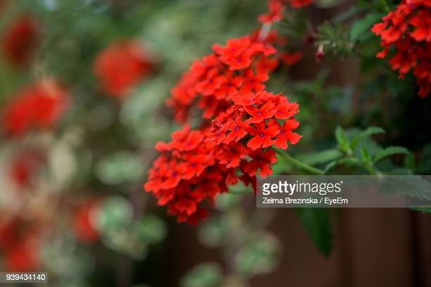 close-up of red flowers blooming outdoors - lantana stock pictures, royalty-free photos & images