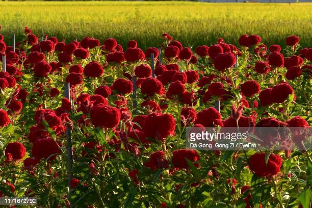 close-up of red flowers on field - 富山県 ストックフォトと画像