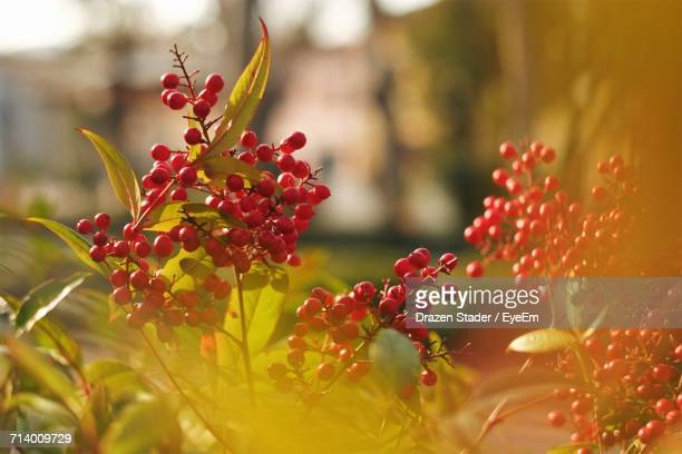 close-up of red flowers on tree - drazen stock pictures, royalty-free photos & images