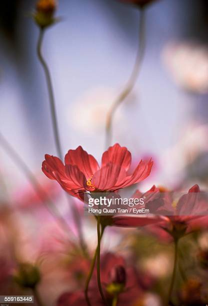 close-up of red flowers - hong quan stock pictures, royalty-free photos & images