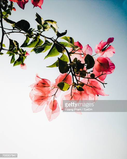 close-up of red flowers - bougainville stock photos and pictures