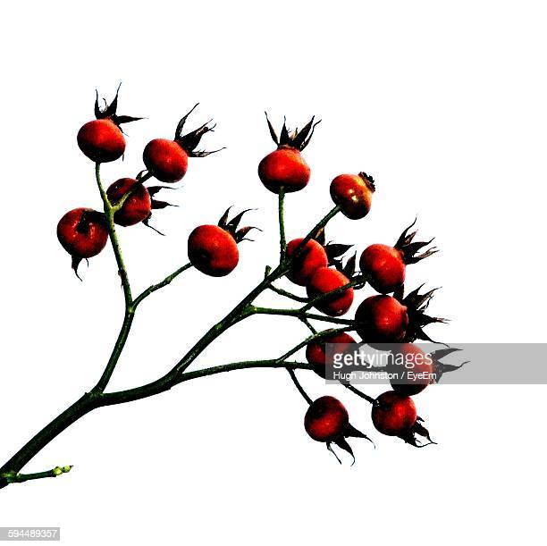 Close-Up Of Red Fruit Buds Against White Background