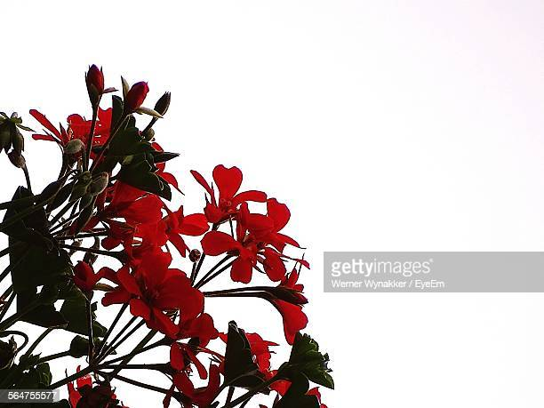 Close-Up Of Red Geraniums Flowers