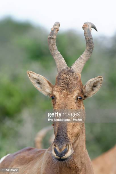 Close-Up Of Red Hartebeest