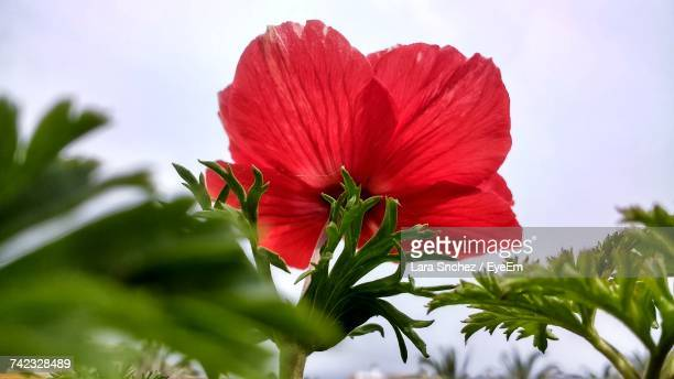 Close-Up Of Red Hibiscus Blooming Against Sky