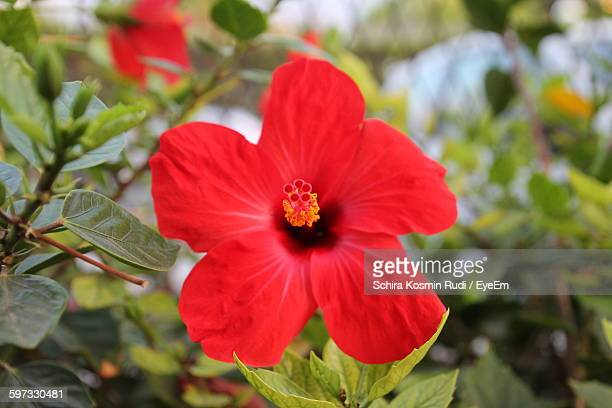 Close-Up Of Red Hibiscus Blooming In Garden